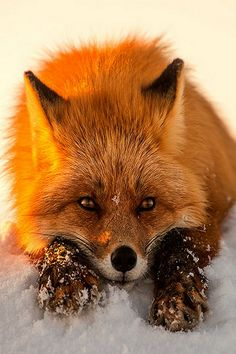 Red Fox w/ Snowy Paws