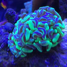 Color = #nofilter #iphone6 #coral #reeftank #coralreeftank #reeftanksofvine #reef #reefpack #reef2reef #reefcandy #reefersdaily #reefrEVOLution #saltwatertanks #shallowreeftank #aquariums #aquariumphotography #coralreef #coraladdict #reefaholiks #reefjunkie #livetanks #reeflife #instareef #reefgeek #allmymoneygoestocoral #instareef #tankwars #reefpackworldwide #instafish #thetanggang
