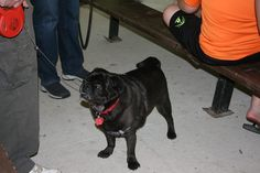This is what pugs do best... stand and wait.