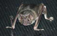 Nineteen vampire bats, like this one from the Louisville Zoo, number among the…
