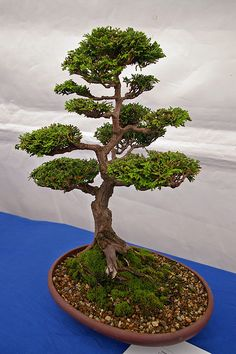 杉Bonsai | Flickr - Photo Sharing!