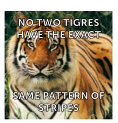 Two tigers never have the same pattern of stripes. PetsnanaG