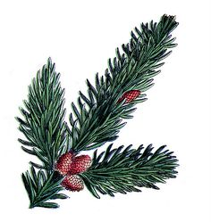 Vintage Images - Pine Cone and Branch - The Graphics Fairy