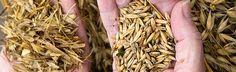 La cizaña debilita al trigo y engaña al agricultor, que no sabe que está instalada en su cosecha. Cuando ya puede diferenciar trigo y cizaña, no puede quitarla sin dañar al trigo. Habrá que esperar a que venga la ciega y se separe trigo y cizaña, grano y paja. El grano se molerá para hacer harina, que mezclada con agua, sal y levadura, hará posible tener masa de trigo lista para hornear. La cizaña y la paja, servirá para otras cosas, como avivar el fuego que cocerá la masa de trigo para…