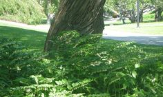 kalliokielo. aivantoinen: puutarha