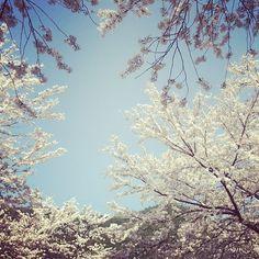"@Graham Budd's photo: ""#cherryblossom & blue skies at Seoraksan National Park. #korea #asia #spring #nature #seasons #trees #travel #한국 #속조"""