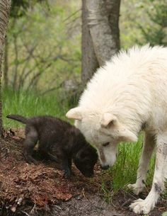 Wolf with pup. Unlike humans, wolves, and other animals, don't have a color-line.