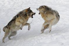 https://www.auburn.wednet.edu/cms/lib03/WA01001938/Centricity/Domain/1210/Roman%20Berezovskyi/wolffight.jpg