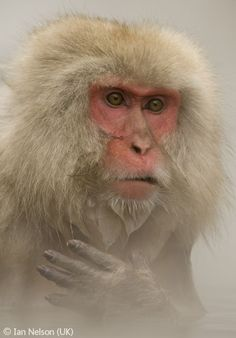 Macaque moment - Ian Nelson - Wildlife Photographer of the Year 2007 : Animal Portraits - Highly commended
