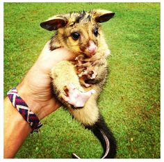My friend found a baby ringtail :) <3 Australian wildlife!