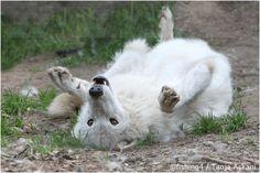 Tanja Askani : Wildlife Photographer and Wolf Expert