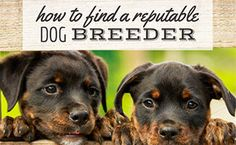 Learn how to find a breeder who considers the best interests of you and the dog. Dog Nutrition, Nutrition Guide, Puppy Stages, Veterinary Care, Purebred Dogs, Guide Dog, Puppy Mills, Dog Show, Homemade Dog