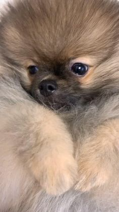 Cute Little Puppies, Cute Dogs And Puppies, Baby Dogs, Cute Funny Animals, Funny Dogs, Cute Pomeranian, Chocolate Pomeranian, Spitz Type Dogs, Tierischer Humor