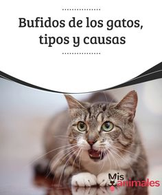 #Bufidos de los gatos, tipos y causas  Los animales, debido a su #carencia de habla para comunicarse, emiten #sonidos que siempre quieren decir o trasmitir algo. Por ejemplo, los bufidos de los gatos. Como decimos bufidos, también #podemos decir ruidos, ya que son variados los que emiten.