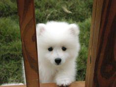 american eskimo puppy! My next puppy!