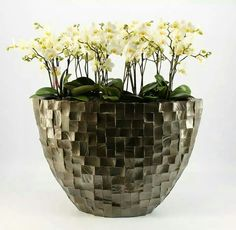 Phalaenopsis orchids grown by optiflor orchids