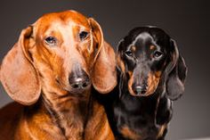 Red And Black Dachshund Dogs Posing On Gray - Download From Over 55 Million High Quality Stock Photos, Images, Vectors. Sign up for FREE today. Image: 23404809