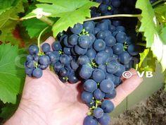 ESTER Fruit