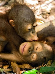 Two young orangutans shared a kiss at the International Animal Rescues Orangutan Rehabilitation Centre in Ketapang, West Borneo