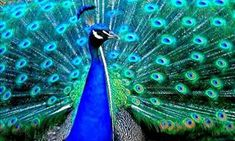 Some may argue that the peacock is the most beautiful bird in the world. The colors of the peacock is where nature truly shines. Cute Animal Tattoos, Peacock Pictures, Picture Watch, Most Beautiful Birds, Cute Funny Animals, Live Wallpapers, Pet Dogs, Creatures, The Incredibles