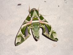 Night butterfly Nigeria