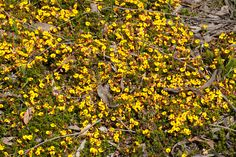 Pultenaea pedunculata Matted Bush-pea