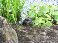 Frog enjoying the new garden pond plants