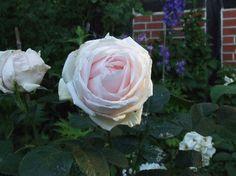 Perle dAmour - Rosen von Weihrauch