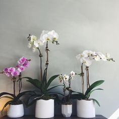 Orchids like bright, indirect sunlight (near a window is best) and only need to be watered approximately every three weeks. Blooms typically last 2 to 3 months. There is a 60% chance they will bloom again after a dormant period of 6-12 months.