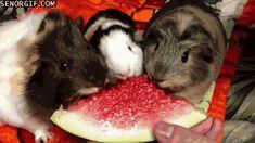 Cheezburger out watermelon pigs guinea pigs