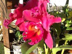 Minha orquídea!!!!!