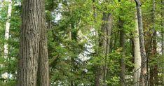 Деревья Кемеровской области