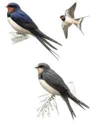 lastovička domová Bird, Animals, Animales, Animaux, Birds, Animal, Animais