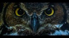 [OC] Close up of a Great Horned Owl [1920x1080] - http://ift.tt/2fopRzC
