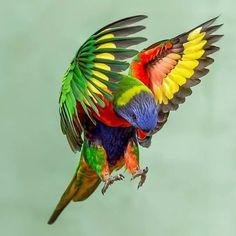 Pretty Birds, Love Birds, Beautiful Birds, Birds In The Sky, Birds In Flight, Exotic Birds, Colorful Birds, Australian Animals, Funny Animal Pictures