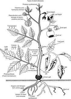 10 best soil food web images food chains food webs lawn garden Gridiron Guru biointensive gardening plant pathology plant pests plant diseases growing greens types