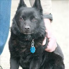 No Longer Listed for Adoption...Hoping for a Happy Ending for Sophie!  a Petfinder adoptable Schipperke Dog | Golden, CO | Hi, I'm Sophie! I am looking for a loving lap and lots of attention! I would like to live in a...