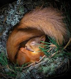 ed squirrel curled up in a nest box in the Cairngorms, How adorable 🐿 Photo b. ed squirrel curled up in a nest box in the Cairngorms, How adorable 🐿 Photo b. ed squirrel curled up in a nest box in the Cairngorms, How adorable 🐿 Photo by Forest Animals, Nature Animals, Animals And Pets, Baby Animals, Funny Animals, Cute Animals, Wildlife Nature, Wildlife Photography, Animal Photography