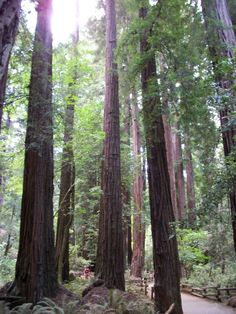 Muir Woods just north of San Franscisco