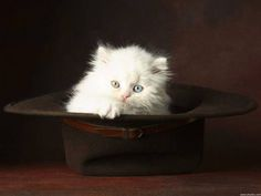 The American Bobtail has an adaptable nature, so he is a good traveler. Long-distance truckers and Rvers find him to be an fantastic companion. The cats have also found a niche with some psychotherapists due to their loving and intuitive nature.