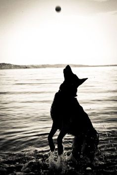 German Shepherd Photography