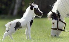 Einstein ... world's smallest horse >> Insanely cute!