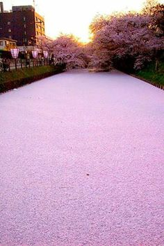 river filled with cherry blossom petals <3 #beautyofnature