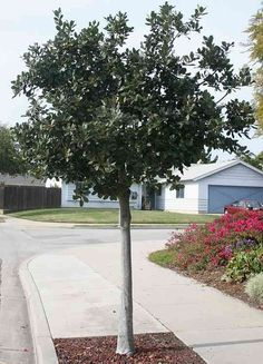San Marcos Growers > Products > Plants > Another Image Bay Leaf Tree, Bay Trees, Modern Landscaping, Front Yard Landscaping, Bay Laurel Tree, Laurus Nobilis, Patio Trees, Backyard Plan, Small Trees
