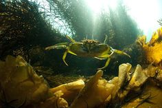 A shore crab (Carcinus maenas) floats to safety among the Hebridean kelp forest. Photograph: Otter Films/Maramedia