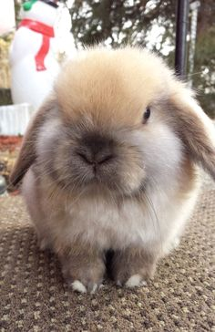 In case you are looking for a furry friend that is not just adorable, but simple to have, then look no further than a family pet bunny. Mini Lop Bunnies, Funny Bunnies, Baby Bunnies, Cute Bunny, Bunny Rabbits, Bunny Bunny, Fox And Rabbit, Pet Rabbit, Rabbit Pen