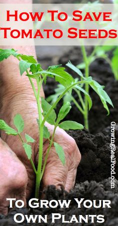How To Save Your Tomato Seeds To Grow Your Own Plants | GrowingRealFood.com #gardening
