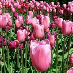 """Tulppaanit ©sisterspink: """"Takapihalla kukkii."""" #pientalojapiha"""