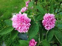 Rosa majalis `Tornedal´ Tornedalsros Rose, Garden, Flowers, Plants, Dreams, Pink, Garten, Lawn And Garden, Gardens