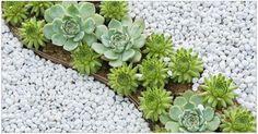 Plantele suculente sunt capabile să rețină multă apă în frunzele și tulpinile lor groase. Această proprietate le ajută să suporte chiar și secete îndelungate.Cele mai răspândite plante suculente sunt cactușii. În această categorie intră și lithops (piatră vie), aloe, euphorbia, sedum, urechelnița (sempervívum) precum și alte specii ale lumii vegetale. Majoritatea plantelor suculente pot fi crescute în ghivece foarte mici, deoarece au nevoie de puțin sol. Ele sunt atractive pentru amatori…